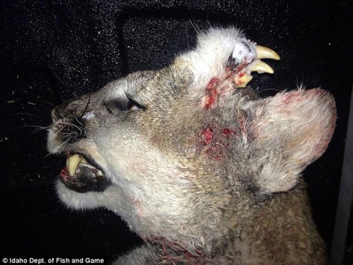Phát hiện sư tử mọc răng trên trán
