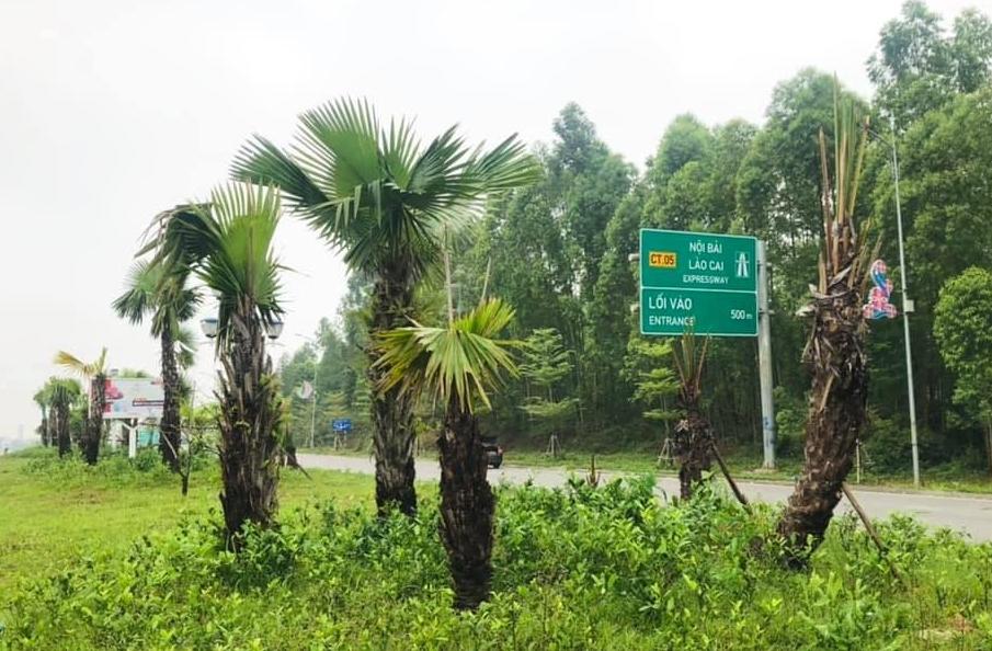 Bộ GTVT chấp thuận chủ trương trồng cọ trên cao tốc của tỉnh Phú Thọ