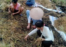 Phú Thọ: Say rượu, nhóm thanh niên châm lửa đốt 2 tấn lúa