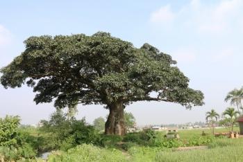 """Cây trôi 1.000 năm tuổi - """"Báu vật"""" của làng Bình Đà"""