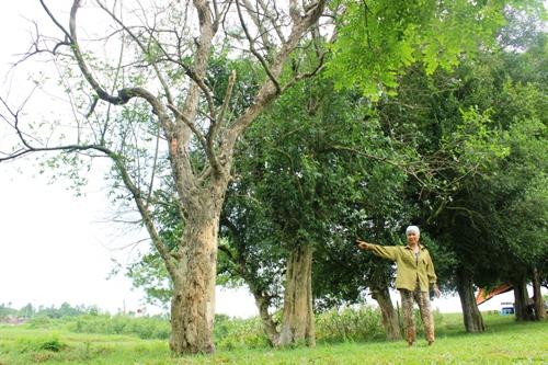 Hai cây duối di sản ở Đường Lâm đang chết mòn