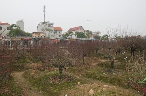 """Làng đào Phú Thượng """"thấp thỏm"""" chờ Tết"""