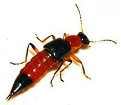 Bé 10 tuổi tử vong do kiến ba khoang cắn