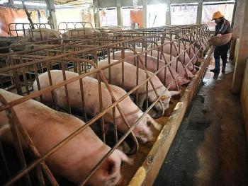 """""""Giải cứu"""" lợn thịt: Bộ NN&PTNT sang Trung Quốc đàm phán xuất khẩu"""