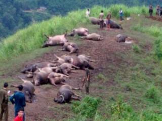 Lạ lùng 19 con trâu bị sét đánh chết cùng lúc ở Hà Giang