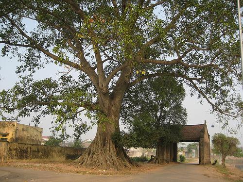 Làng cổ phải có cây cổ thụ và giếng làng