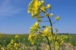 Trồng cây cải dầu để khử phóng xạ ở Tchernobyl