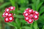 Sắc hoa Păng-xê