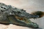 Nuôi cá sấu để… tán gái