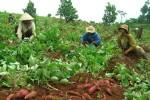 Ngăn chặn thương nhân nước ngoài thu mua nông sản trái phép