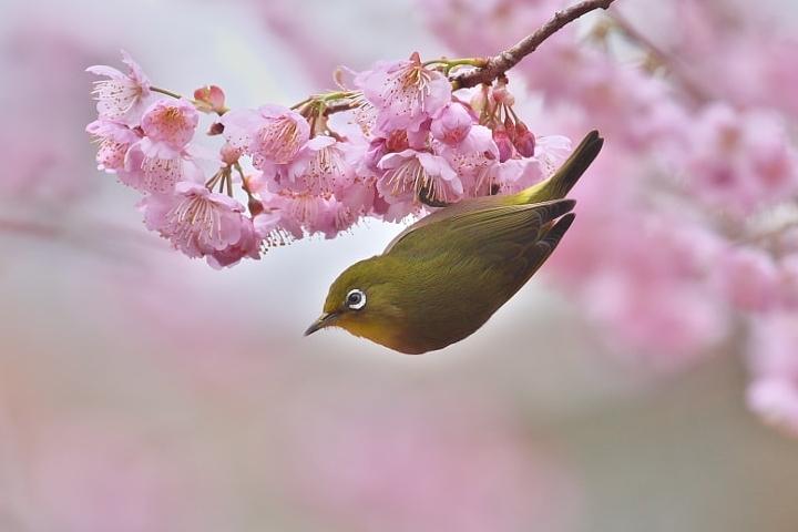 Sắc màu hoa anh đào bùng nở trên khắp thế giới mỗi mùa xuân về
