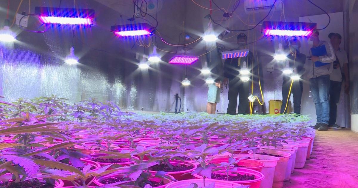 Trang bị hệ thống đèn tia cực tím đắt tiền để trồng cả ngàn cây cần sa