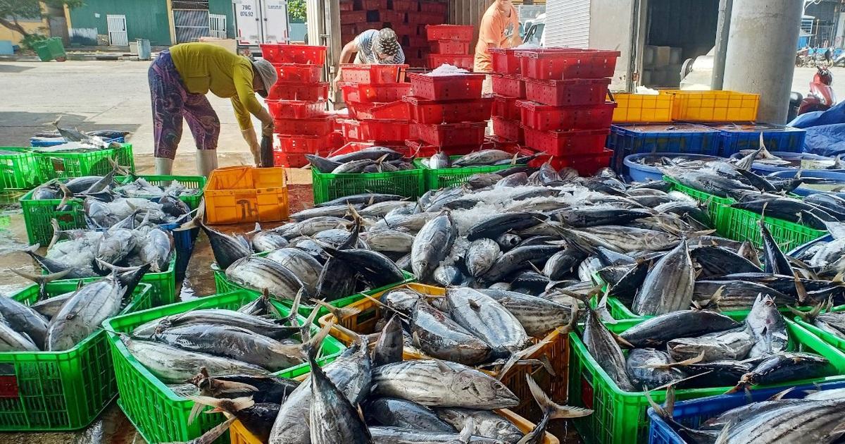 Khánh Hòa: Người làm nghề đánh bắt cá ngừ sọc dưa trúng lớn, lãi đậm