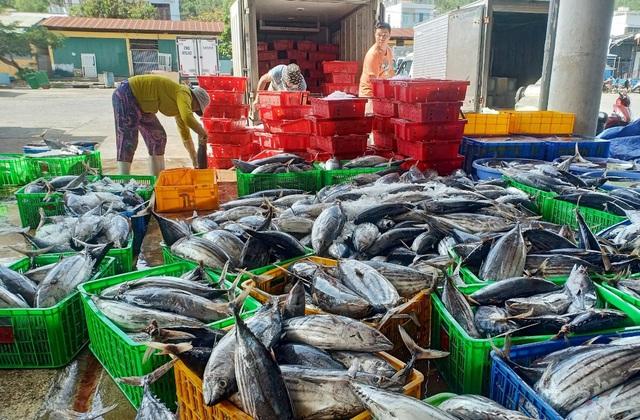 Khánh Hòa: Người làm nghề đánh bắt cá ngừ sọc dưa trúng lớn, lãi đậm - 1