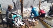 """Cá tra Việt Nam gặp """"biến"""" lớn với thị trường Trung Quốc"""