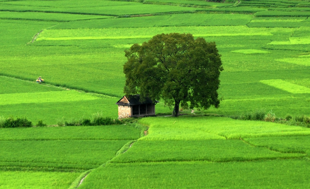 Hình Ảnh Thiên Nhiên Hùng Vĩ Làm Hình Nền Tuyệt Đẹp: Cánh Đồng Lúa Bát Ngát  Bình Yên