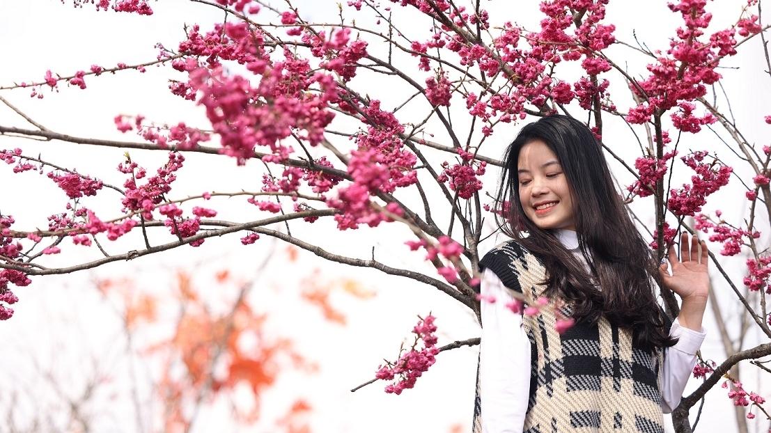 """""""Đặc sản"""" hoa anh đào Himalaya bung nở thắm trời Fansipan"""