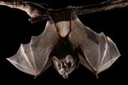 Dơi trong hang động ở Lào được phát hiện mang virus tương tự Sars-CoV-2