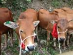 Tạm dừng tặng bò tại các vùng có dịch lở mồm long móng