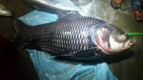 Ngư dân bắt được cá hô nặng 110 kg
