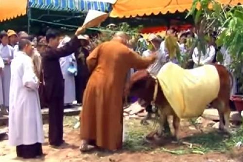 """Thực hư chuyện con bò """"quy y"""" nơi cửa Phật"""