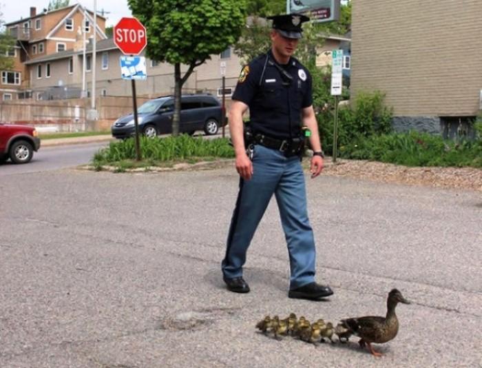 Người cảnh sát giúp đàn vịt trở về nhà