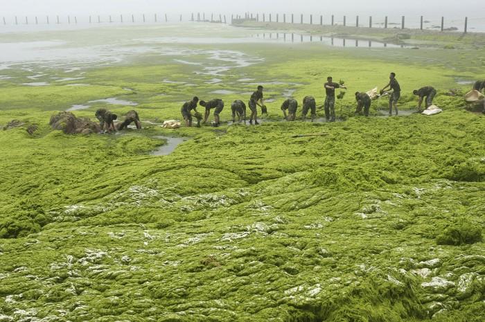 Thuật ngữ Thủy triều đỏ được sử dụng đặc biệt để đề cập đến sự nở hoa của một loài tảo có tên là Karenia brevis.